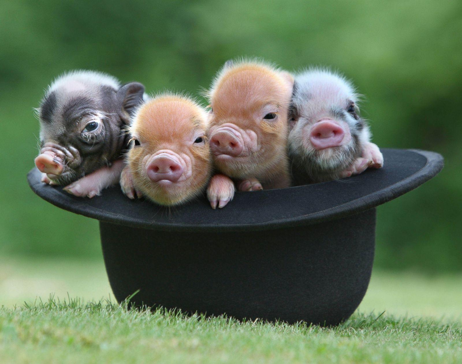 Cute piglet animal