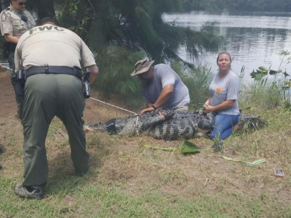 http://s.abcnews.com/images/US/alligator-01-as-ht-180608_hpMain_4x3_992.jpg