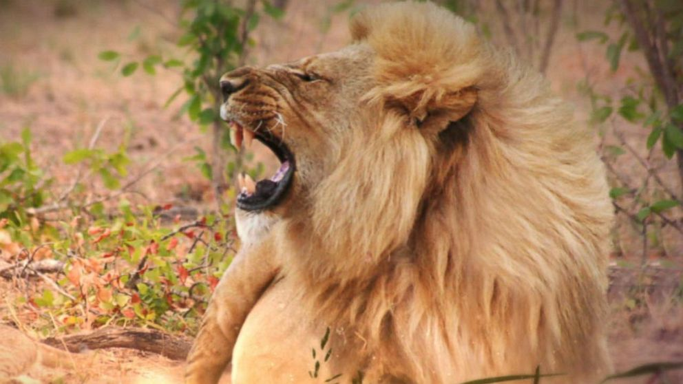 How Cecil the Lion's Death Affects His Lion Pride Video