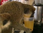 VIDEO: What can these hairy primates teach us about human alcohol abuse?