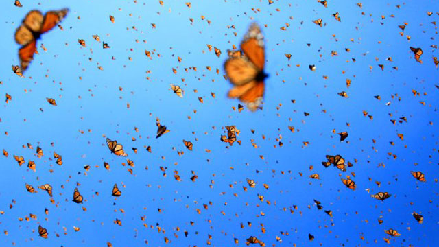 PHOTO: Monarch butterflies spend summertime in Canada and winter in a few mountain tops in Michoacán state, Mexico.