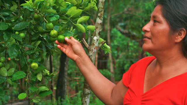 PHOTO: At a sustainable farm in the Colombian Amazon, Bayanira Yara inspects a new crop of lemons. Bayaniras farm, which grows a dozen different fruits, is part of a project to promote sustainable agriculture in the region.
