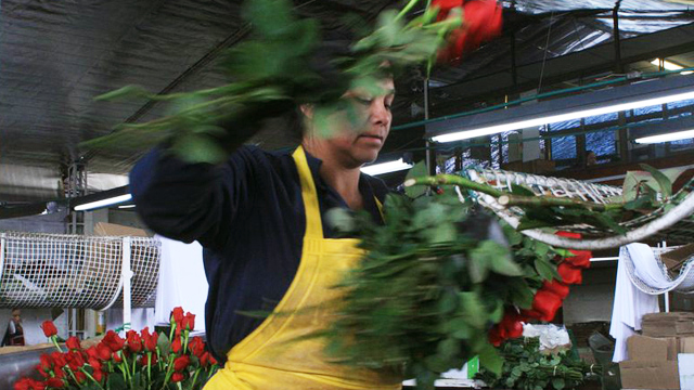 PHOTO: Flowers workers in Colombia often work in difficult conditions for the minimum wage. In this picture a woman cuts rose stems at Milonga Flowers near Bogota.