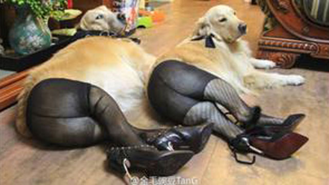 PHOTO: Dogs in pantyhose -- a most self-explanatory fad