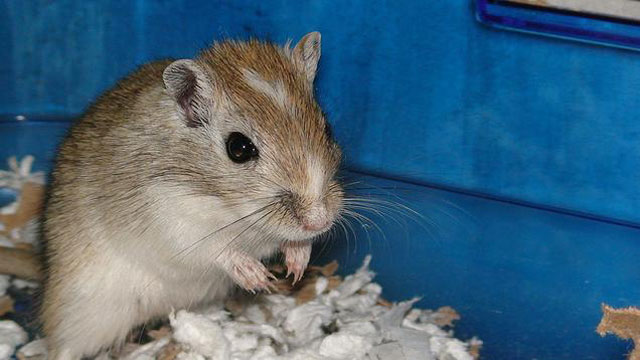 """PHOTO:Do a Google image search for """"gerbil."""" I'll wait."""