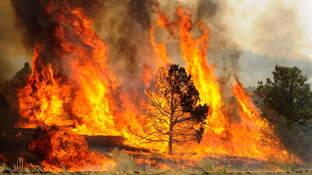 PHOTO: Brush and trees are engulfed in flames after firefighters set a backburn along Highway 191 in an attempt to control a raging wildfire on June 10, 2011 in Nutrioso, Arizona.