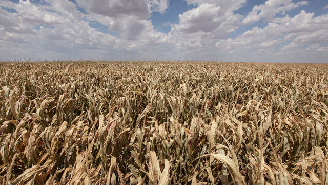 PHOTO:A corn crop dries up in a field July 28, 2011 near Perryton, Texas. A severe drought has caused most dry-land (non-irrigated) crops in the area to fail and forced farmers to abandon some fields in order to conserve their limited resources.
