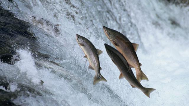 PHOTO:Salmon
