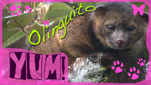 New Mammal Olinguito Delicious Recipe Satire Video Abc News