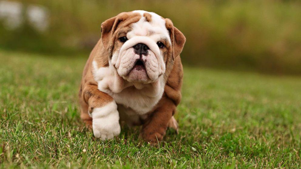 Vast majority of online puppy ads are fraudulent, report