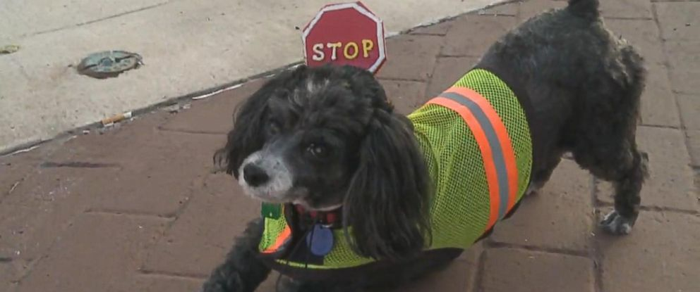 PHOTO: Patches the dog wears a vest and carries a stop sign, helping his owner, Brad Curtis, with crossing guard duties for the Jersey Shore Area School District in Jersey Shore, Pennsylvania.