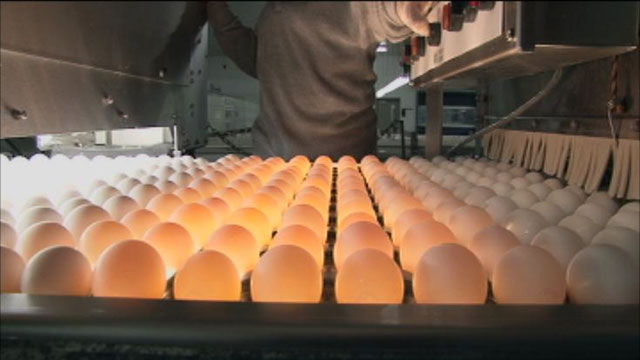 """PHOTO: Sparboe produces hundreds of millions of eggs and claims it has never discovered salmonella in a single egg. Ken Klippen of Sparboe told ABC News, """"Ive been at barns all around the world, this is state of the art when it comes to egg production."""""""