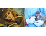 PHOTO: This combination of two photos obtained from the Iranian Students News Agency, ISNA, shows, left, an Iranian technician holding a monkey that Iran claims rode an Iranian rocket into space, in Tehran, Iran, Jan. 30, 2013, and right, an undated image