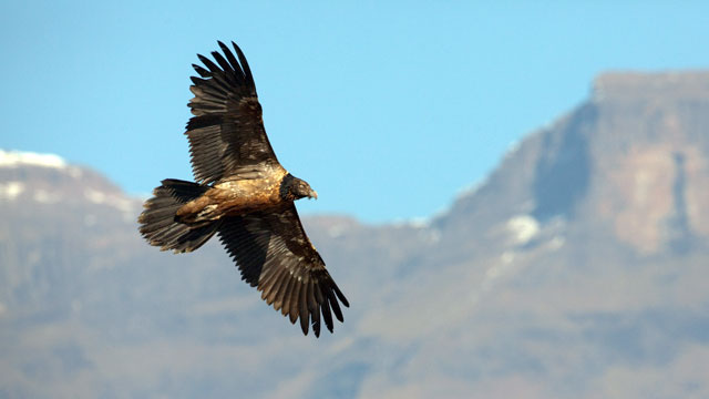 """PHOTO:Sudanese Officials are claiming a large bird captured late last week is an """"Israeli spy vulture."""""""