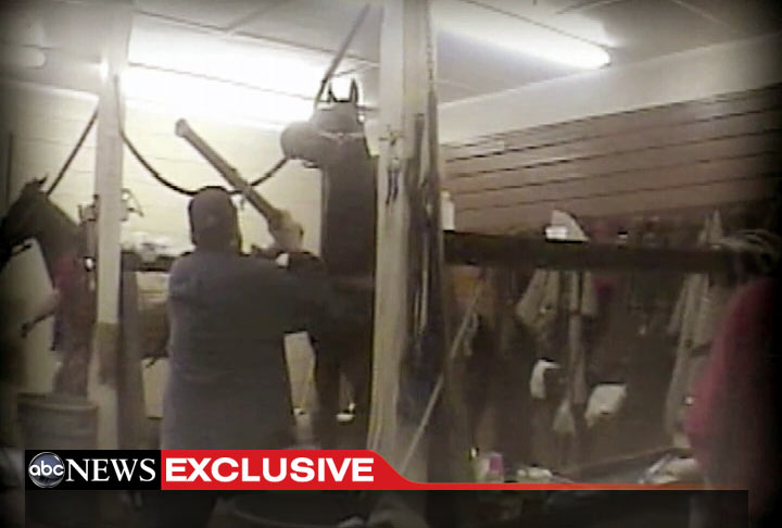 PHOTO: Undercover video caught trainer Jackie McConnell allegedly abusing Tennessee Walking Horses.