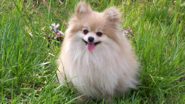 PHOTO: Dennis Adkins has filed a $5 million class action lawsuit against Nestle Purina, alleging that his 9-year-old Pomeranian Cleopatra died after eating Waggin Train chicken jerky dog treats.