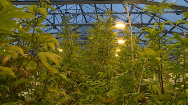 'The fish don't get high:' Oklahoma business uses fish to grow marijuana