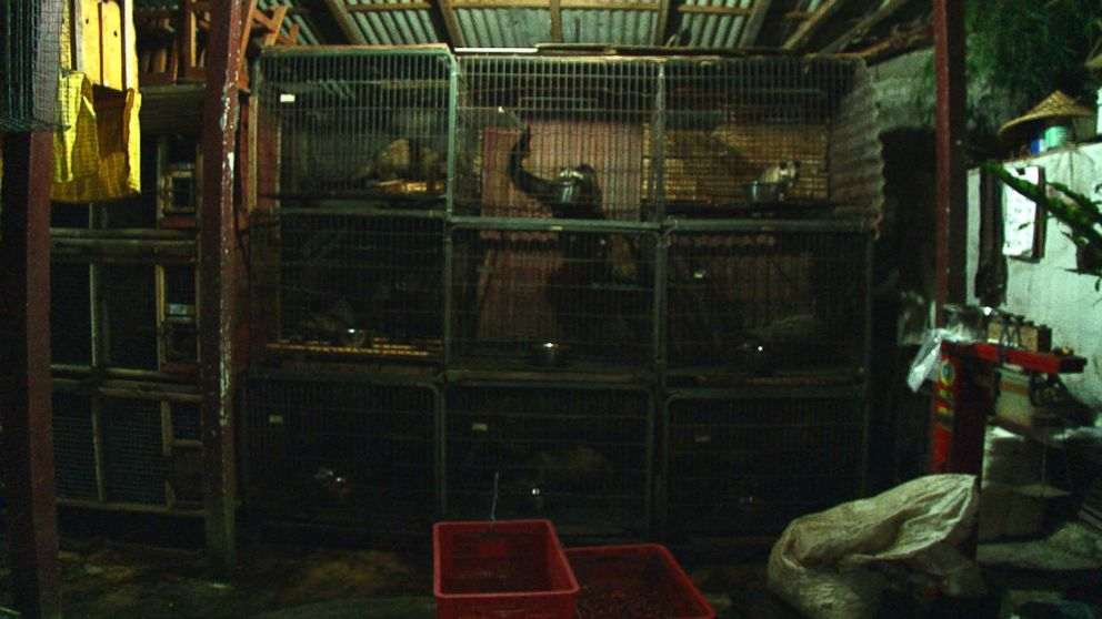 Indonesian civet cats kept in captivity at this civet farm ABC News visited in Bali.