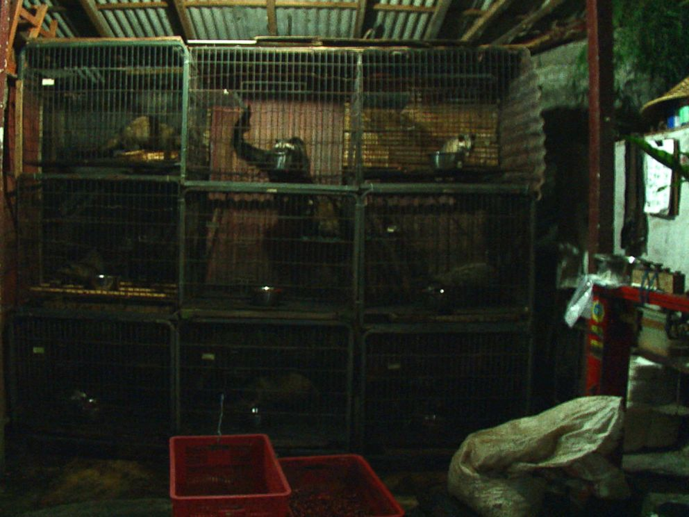 PHOTO: Indonesian civet cats kept in captivity at this civet farm ABC News visited in Bali.