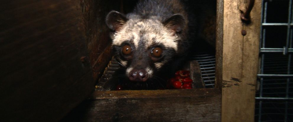 PHOTO: An Indonesian civet cat is fed a bowl of coffee cherries at a civet farm in Bali.