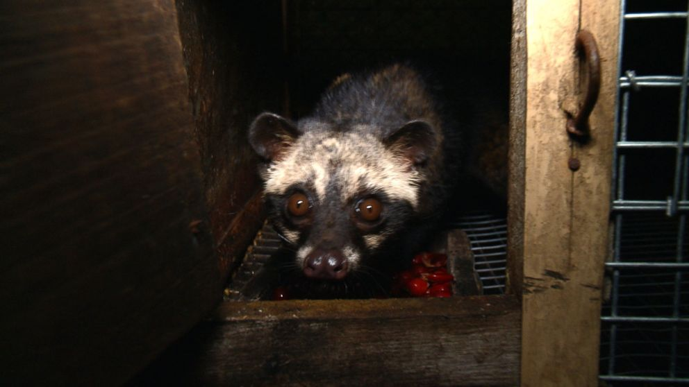 Civet Cat Poop Coffee, the World's Most Expensive, Brews Up