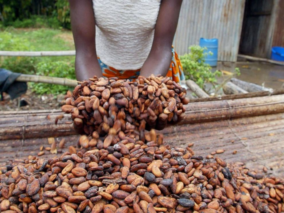 PHOTO: A woman shows cocoa beans in this June 12, 2002, file photo in a plantation of Niable.