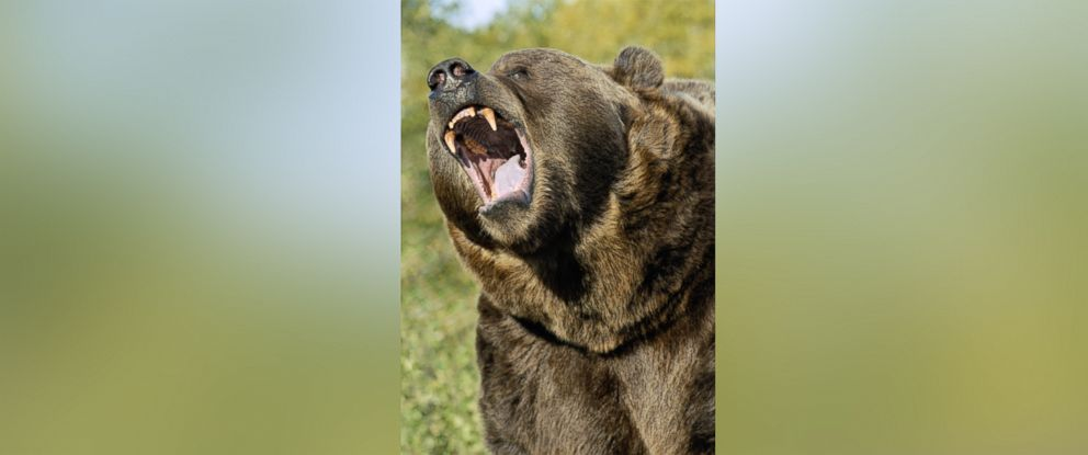 PHOTO: A Kodiak Grizzly Bear is seen in this undated file photo.