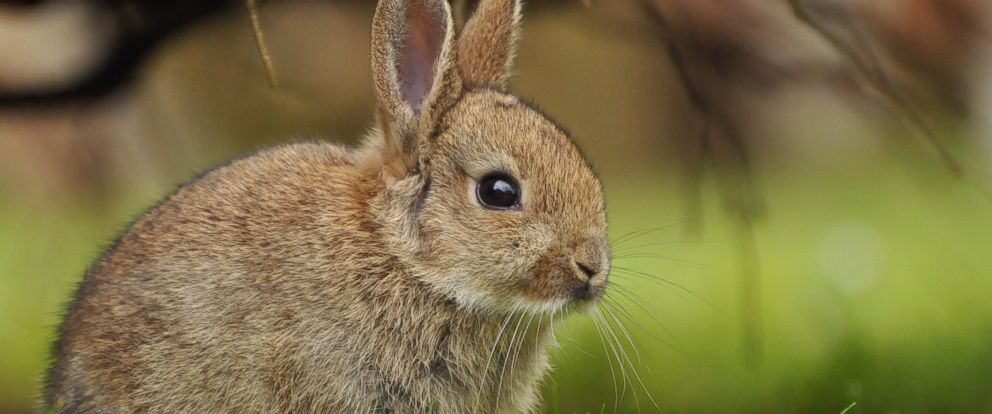 PHOTO: Rabbit--the even newer white meat--is showing up more often on restaurant menus and kitchen tables