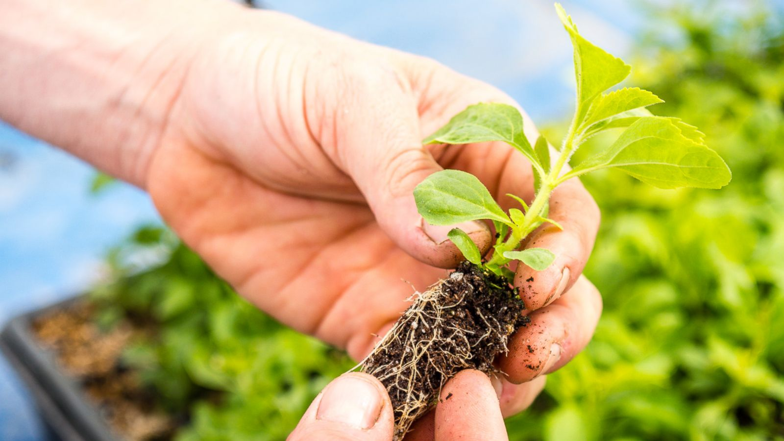 Tobacco Farmers Switching Over To Growing Sweetener Stevia Abc News Tropicana Slim