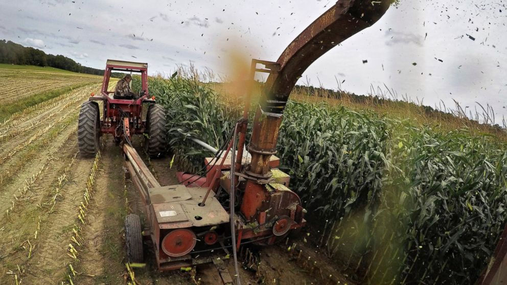 FILE- In this Sept. 10, 2018, file photo corn plants shoot out of a forage harvester as farmer Jim Minott works to get some of his 50 acres harvested before impending rain in Brunswick, Maine. Minott will feed the silage to his cows. On Tuesday, Jan. 15, 2019, the Labor Department reports on U.S. producer price inflation in December. (AP Photo/Robert F. Bukaty, File)