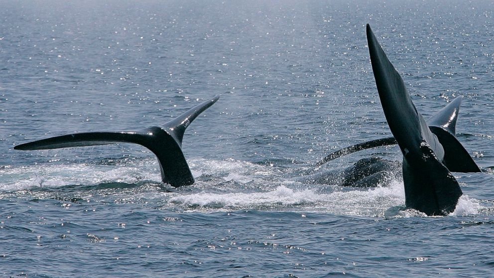 Kayaking group finds itself surrounded by breaching whales