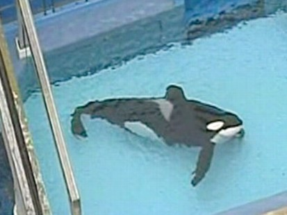 VIDEO: There is still confusion about how a killer whale killed a SeaWorld trainer.