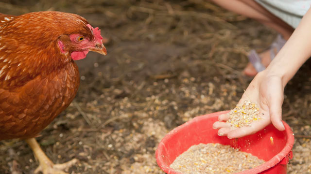 PHOTO: Chicken feed contains arsenic.