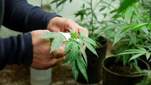 PHOTO: Cultivating medical marijuana