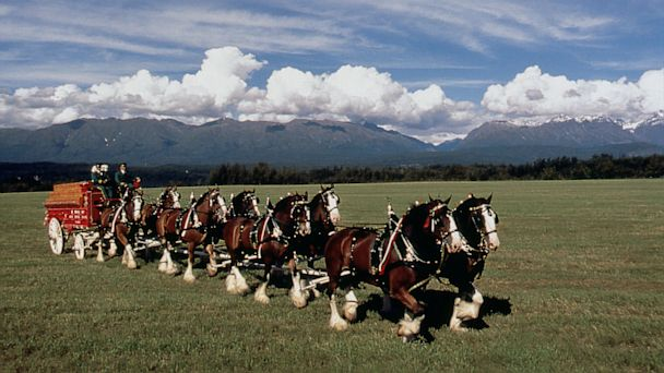 PHOTO: The Anheuser Busch Clydesdales are seen in this undated handout photo.