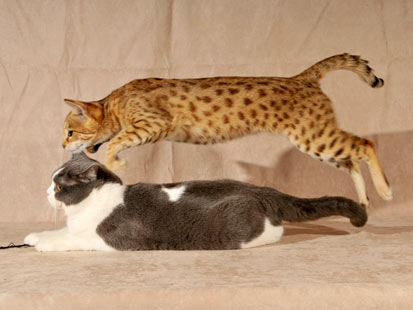 Breeders Of Misunderstood Hybrid Cats Dispel Myths Of Wild Animals Abc News