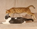 "PHOTO: Coco, a Savannah cat, leaps over Georgie, a British shorthair cat. Their owner, Brigitte Cowell hopes to dispel a ""myth"" that Savannahs are wild, dangerous cats."