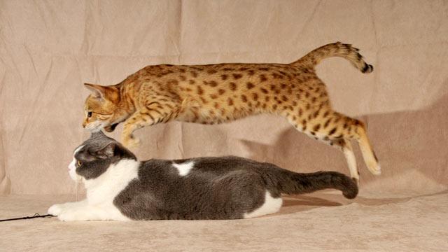 Breeders Of Misunderstood Hybrid Cats Dispel Myths Wild Animals