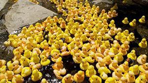 Wildquack Duck Race in Jackson New Hampshire