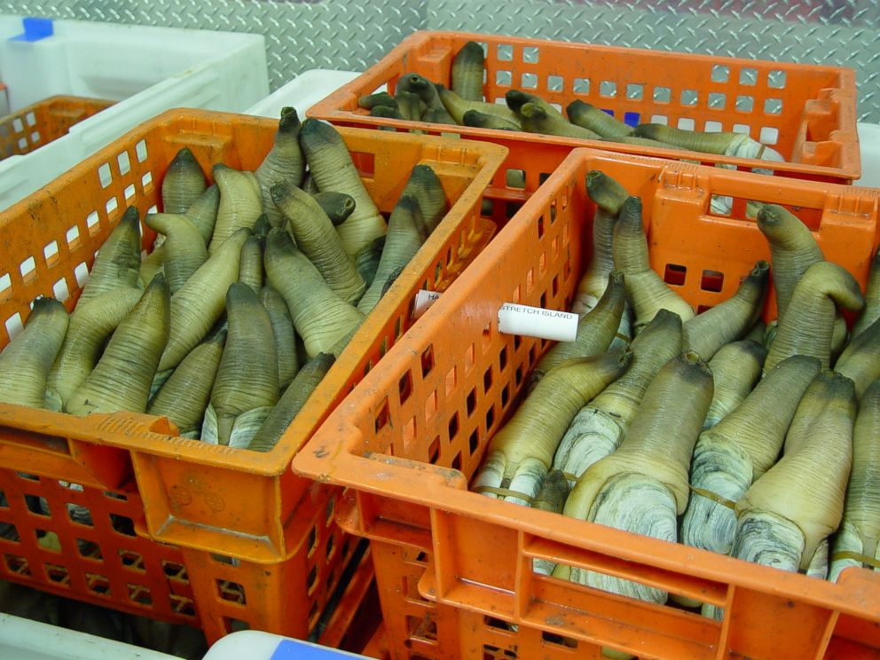PHOTO: Geoduck clams harvested by Taylor Shellfish Farms in Washington. <p itemprop=