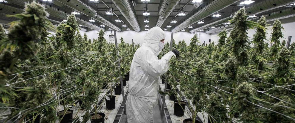 PHOTO: An employee with medicinal marijuana plants in the flowering room at Tweed INC. in Smith Falls, Canada, Dec. 5, 2016.