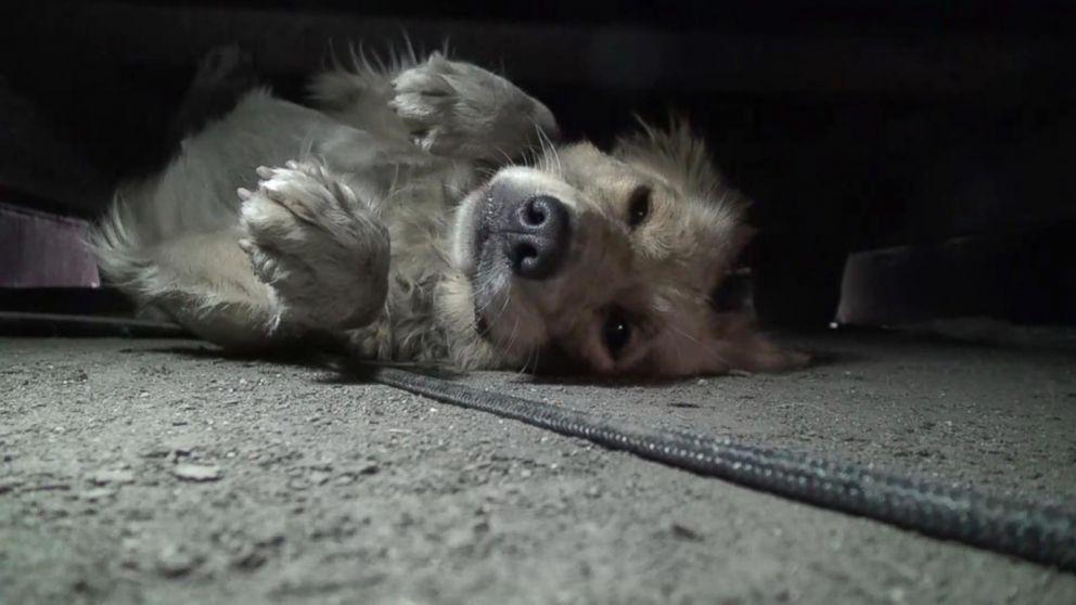 California Golden Retriever's Heartwarming Rescue Caught on Camera
