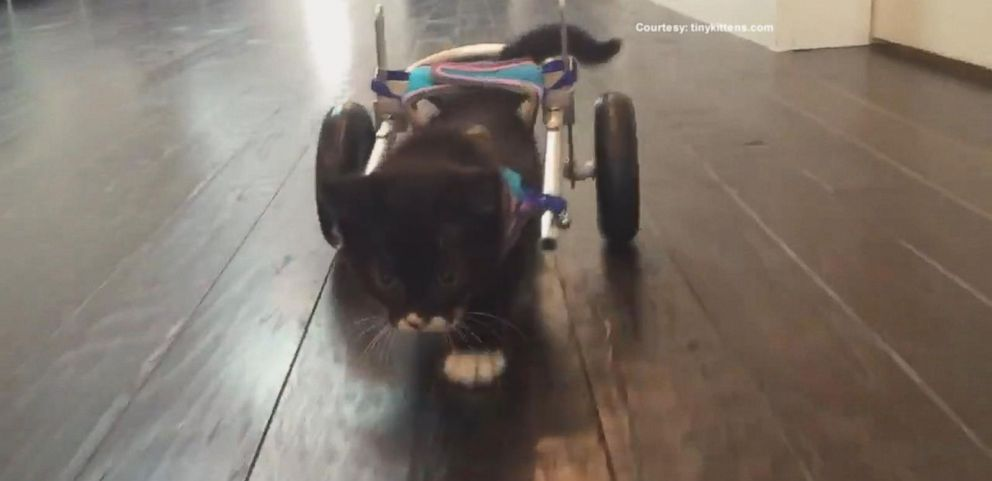 Tiny Kitten Tries Out His Tiny Wheelchair for the First Time