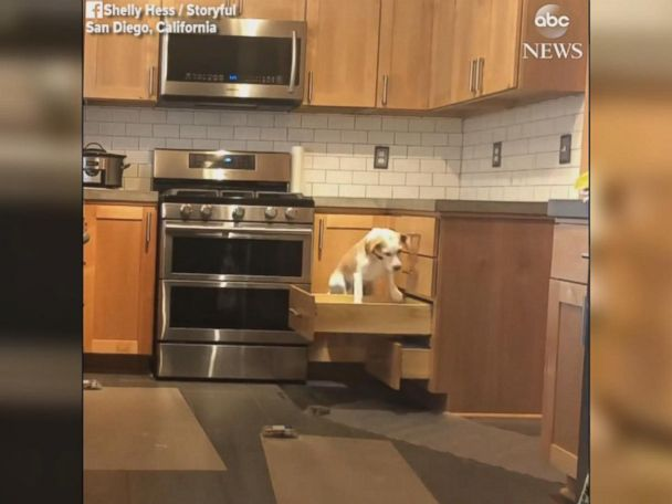 WATCH:  Clever beagle opens drawers to hop on kitchen counter