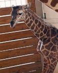 A giraffe named April licks her new calf in Animal Adventure Park, in Binghamton, N.Y., April 15, 2017.  The baby's birth was broadcast to an online audience with more than a million viewers.