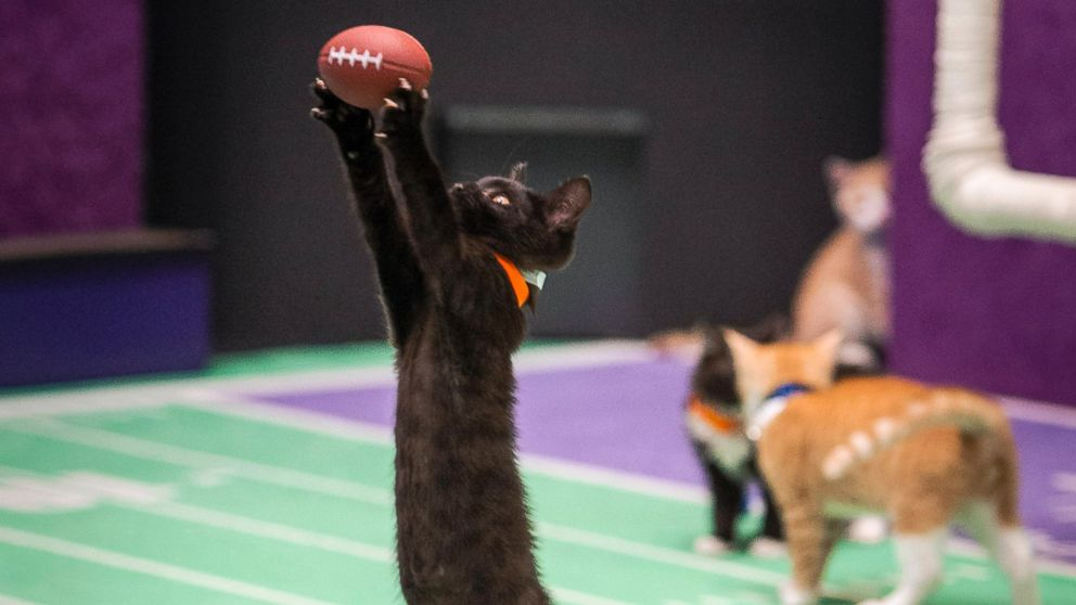 """Kittens playing football in a scene from the Hallmark Channel's """"Kitten Bowl II,"""" airing on Sunday, Feb. 1, 2015, 12 p.m. ET/PT, 11 CT."""
