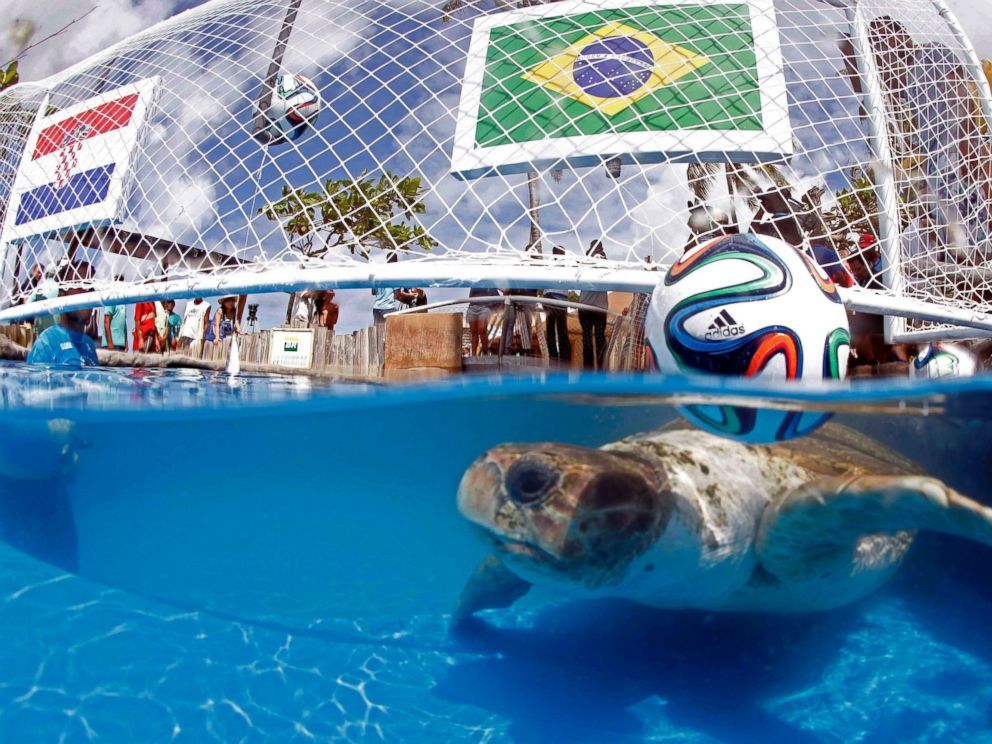 PHOTO: A turtle named Cabecao, or Big Head, swims in a pool in Praia do Forte, Brazil, June 10, 2014.