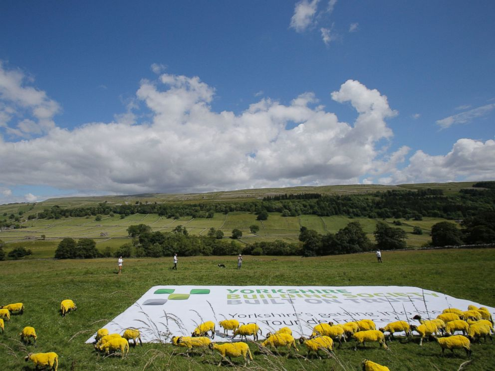 PHOTO: Sheep that have painted yellow walk in a meadow during the first stage of the Tour de France cycling race over 190.5 kilometers (118.4 miles) with start in Leeds and finish in Harrogate, England, Saturday, July 5, 2014.