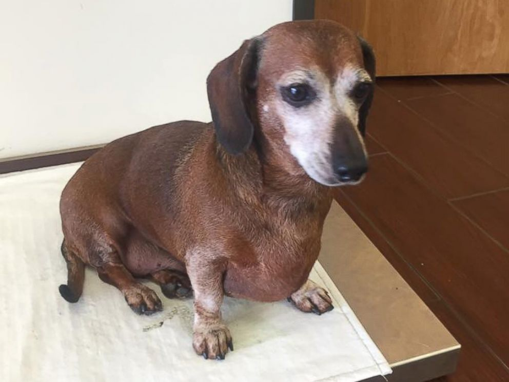 PHOTO: The Dachshund known as Fat Vincent has been re-named Skinny Vinnie after going from 38 to 17 pounds in eight months.