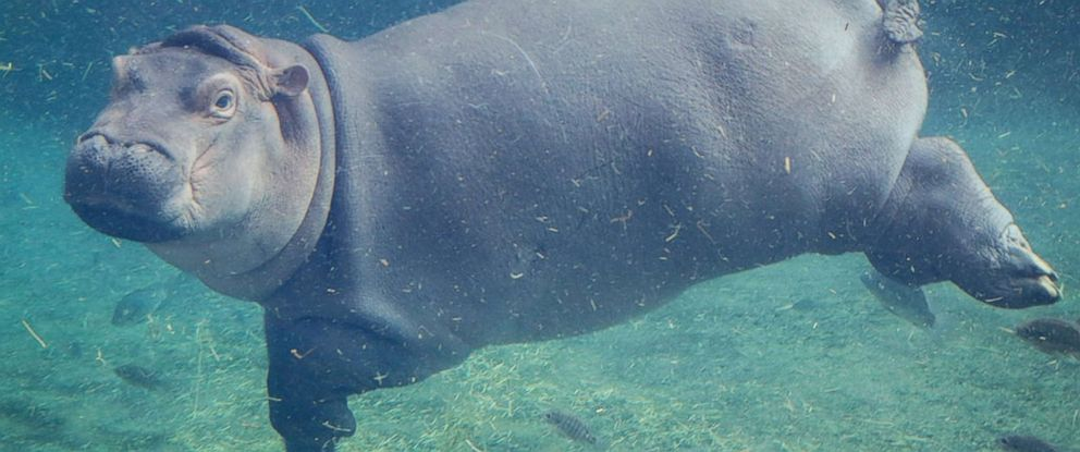 PHOTO: Fiona is pictured in this undated photo provided by Cincinnati Zoo and Botanical Garden.
